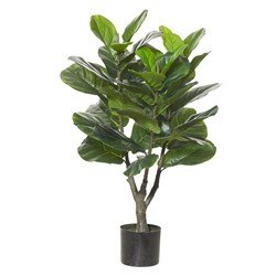 Fiddle Leaf Fig Plant 90cm H